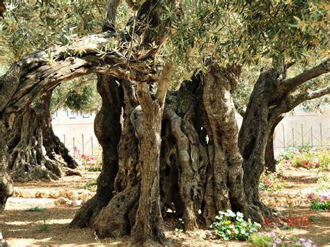 Garden Of Gethsemane Images blue eyed ennis the garden of gethsemane 2012