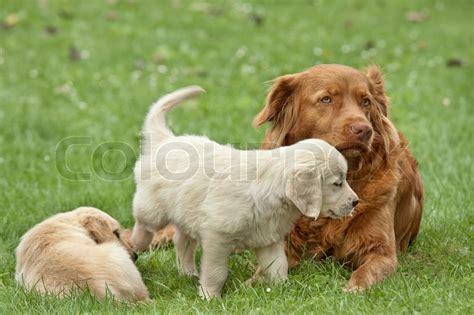 how big golden retrievers get two puppies golden retriever with a big stock photo colourbox