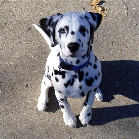 dalmatian pitbull mix puppies for sale dalmation mastiff dogs breeds picture