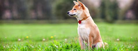 how to tell if your puppy is deaf coping with deafness deaf dogs purina