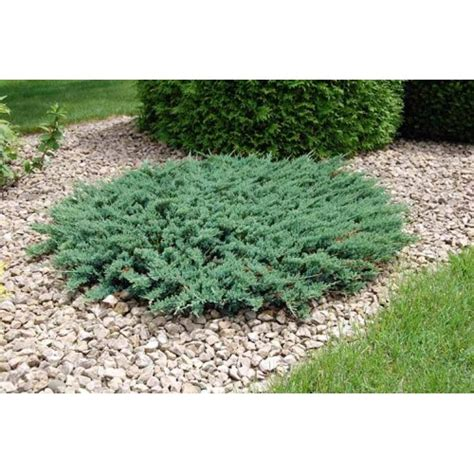 creeping juniper blue rug wilton blue rug creeping juniper