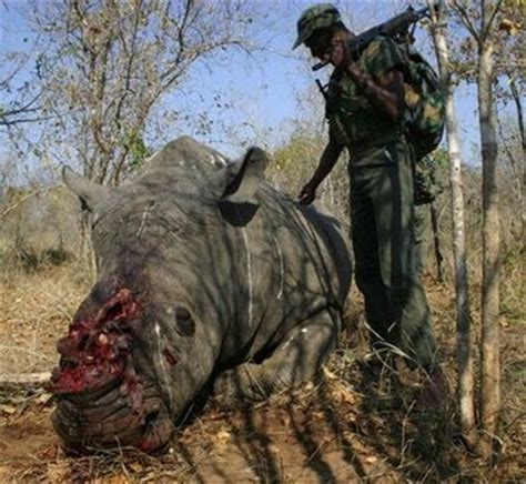Obat Rhinos poachers pluck horn without killing rhino in nepal