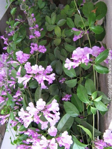 garlic creeper gardening flowering creeper medicinal