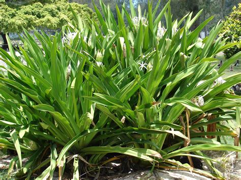 images of plants crinum asiaticum images useful tropical plants