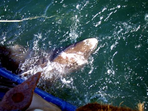 Sleeper Sharks by Pacific Sleeper Shark Quot Treasures Quot Memorial Library