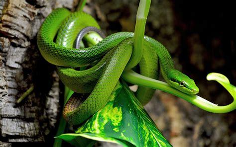 imagenes de serpientes verdes beautiful snake wallpaper hd images one hd wallpaper