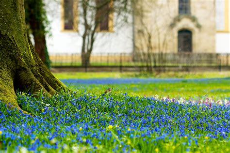 file scilla flowers in the garden of ellingen castle jpg