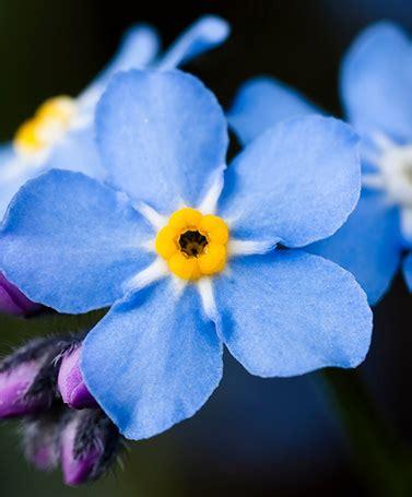Blume Vergiss Mein Nicht 3822 by Vergissmeinnicht Himmelblaue Blume Blume