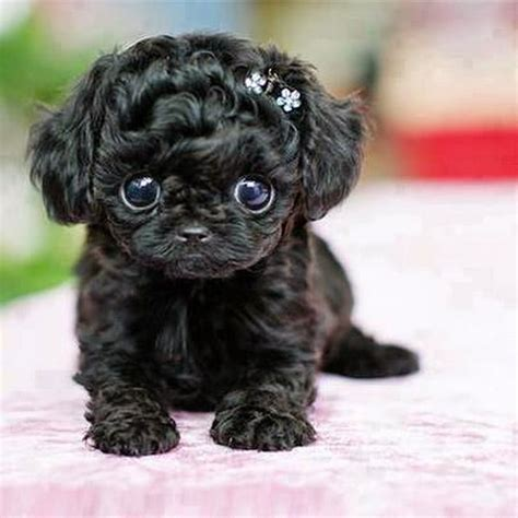 cutest puppy 44 poodle puppy pictures and images