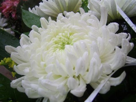 white chrysanthemum books white chrysanthemum free stock photos in jpeg jpg