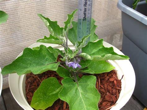 come coltivare le melanzane in vaso come coltivare le melanzane in vaso sul balcone