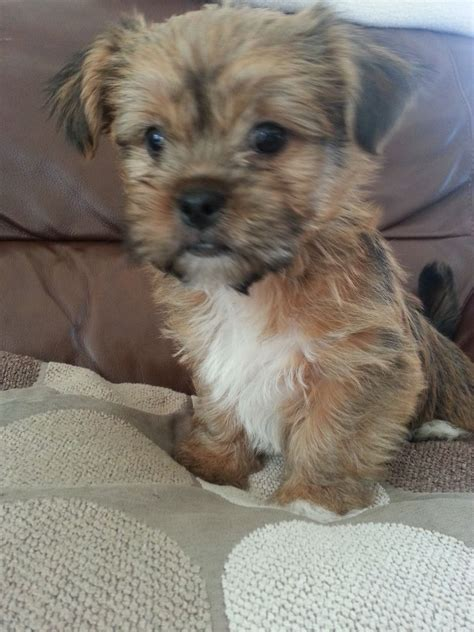 shih yorkie adorable terrier x shih tzu puppies for sale breeds picture