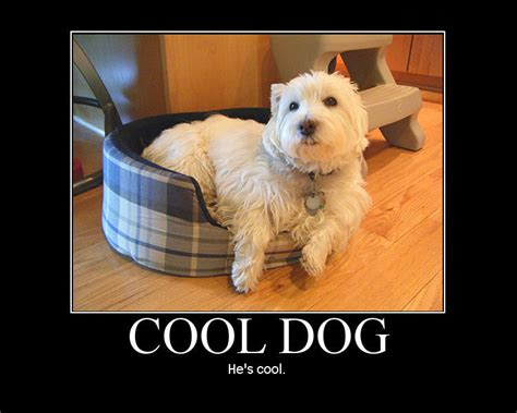 Cool Dog Meme - cool dog westie he s cool by figchan on deviantart