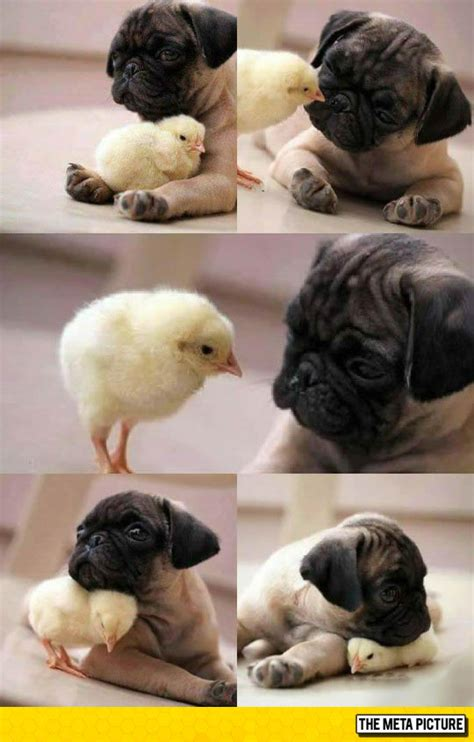 chicken pug pug and chicken