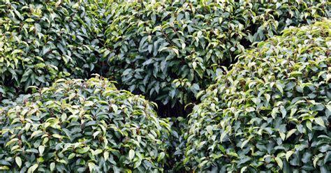portugiesischer kirschlorbeer portugiesischen kirschlorbeer pflanzen pflegen und