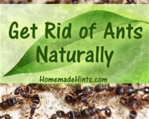 diy homemade ant killer  natural ant repellent recipes