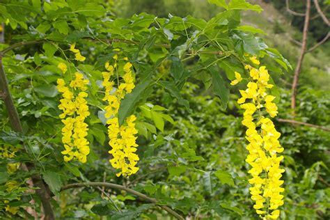 pianta con fiori viola a grappolo laburnum alpinum maggiociondolo di montagna forum natura