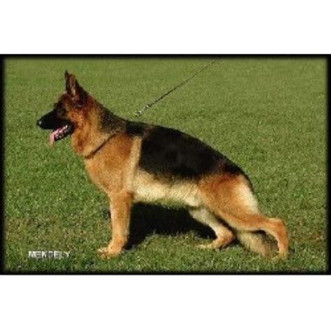 free puppies in nh german shepherd gsd alsatian breeders in new hshire freedoglistings