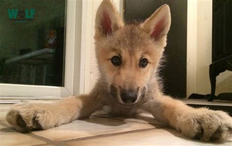 puppy has hiccups wolf puppy has the hiccups boing boing