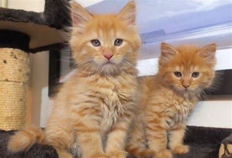 cats for adoption where to adopt kittens pets world