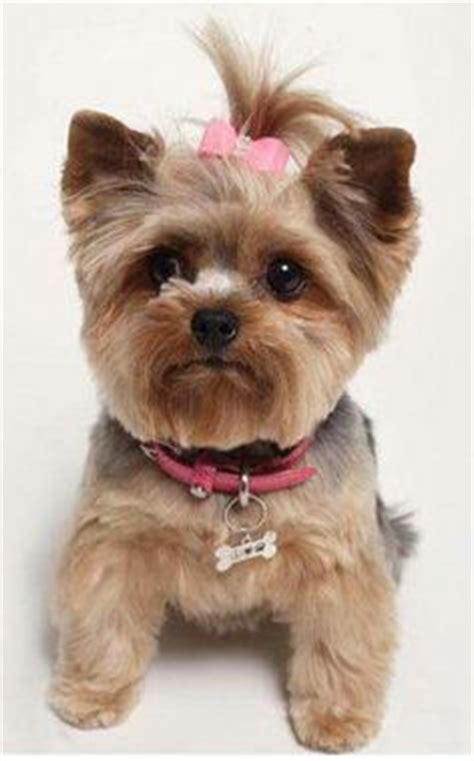 yorkie rear end with long hair pictures yorkie teddy bear cut yorkies pinterest pets puppys