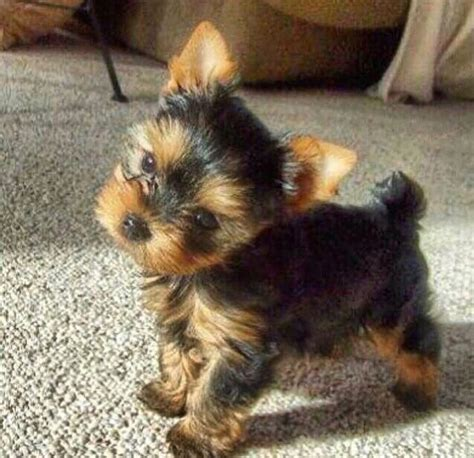 baby yorkies adoption best 25 yorkie puppies for adoption ideas on