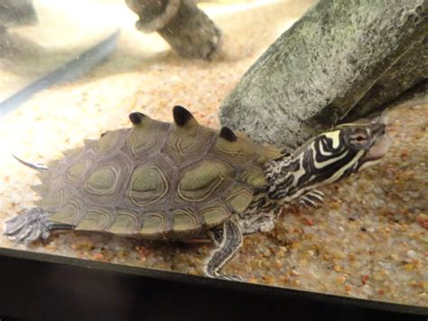 Black Knobbed Map Turtle For Sale by For Sale Black Knob Sawback Map Turtles Pictures