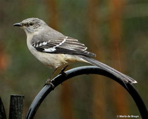 mockingbird predators january 2015 my beautiful world