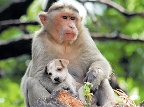 monkey adopts puppy monkey rescues puppy adopts it