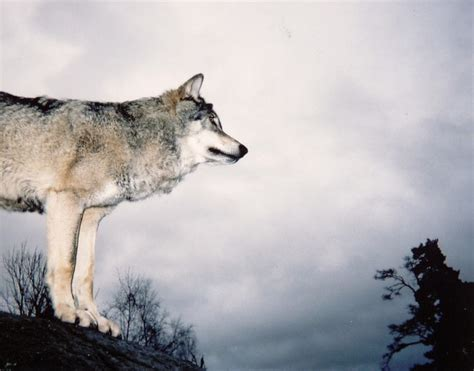 News Roundup Climate Change Reports Censored Wolves And More by Feed The Right Wolf Preaching Eco Resurrection In The
