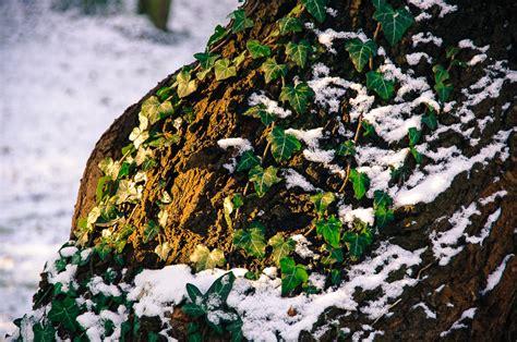 bodendecker unter bäumen 2580 bodendecker unter b 228 umen dickm nnchen bodendecker f r