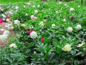 brueckner rhododendron gardens peony garden white tree