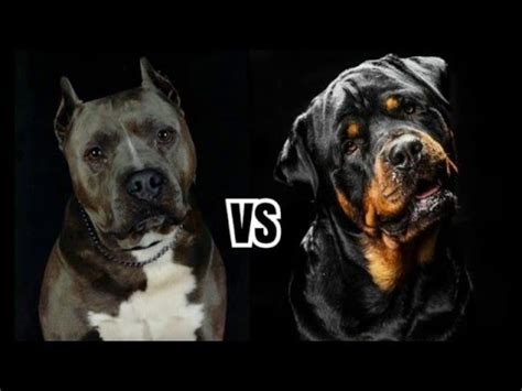 pitbull and rottweiler comparison pitbull vs rottweiler comparison and facts rottweiler