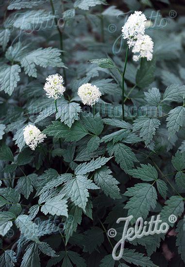 jelitto perennial seed actaea pachypoda silver leaf portion s
