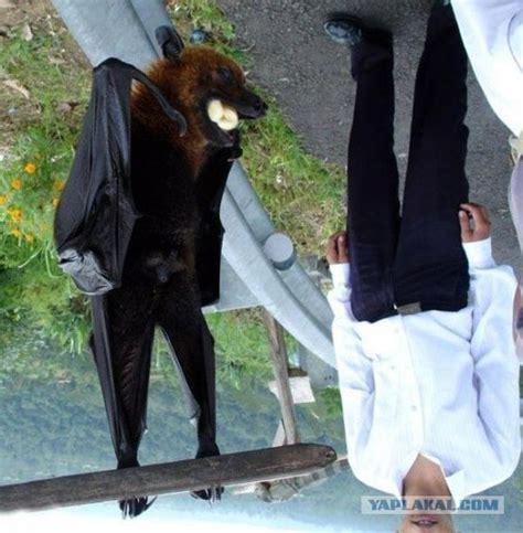 volpe volante malese собаки летучие фото