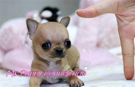 puppies for sale in ny new york teacup puppies for sale chihuahua puppies new york