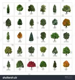 different types of trees thirty different vector tree illustrations tree types sorts specimens arborvitae european