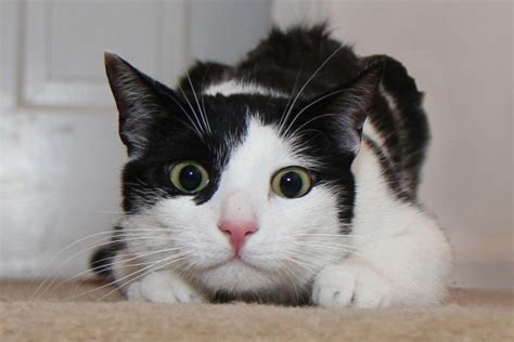 this look on a cat means trouble with dogs and cats