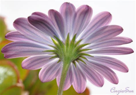 margherita fiori fiori di cinzia santagati pictures