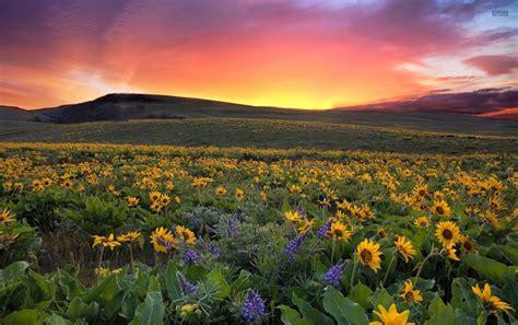 lovely sunset sun flower field wallpapers lovely sunset