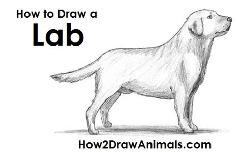 how to my labrador how to draw a labrador retriever