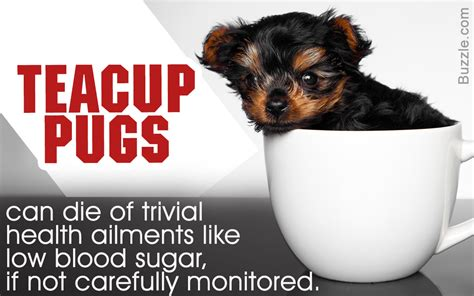 teacup pug information the real information about teacup pugs you can t afford to miss