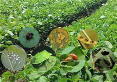 Metindo Pestisida 12 jenis hama tanaman kedelai dan lengkap dengan cara