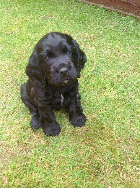 black cocker spaniel puppies stunning black cocker spaniel puppy for sale westbury