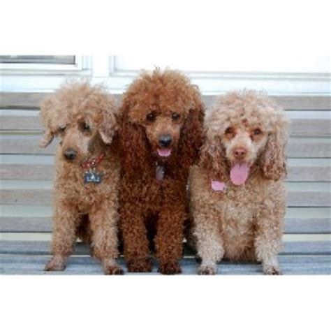puppies for adoption in nebraska poodle miniature breeders in nebraska freedoglistings