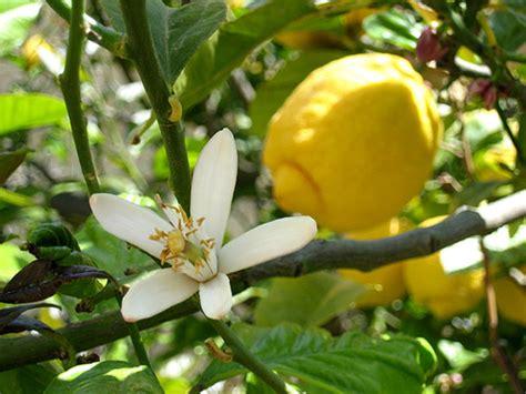 fiori limone la primavera 232 arrivata depuriamoci con il limone