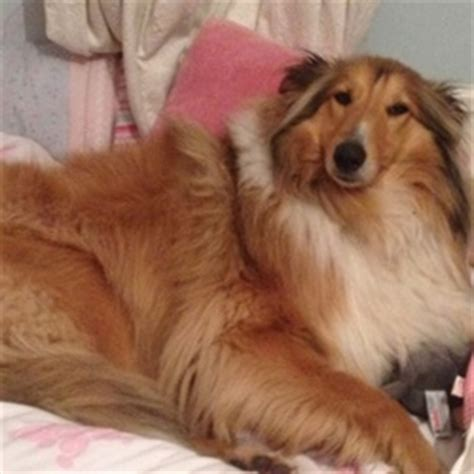 lassie type lost dogs found dogs adopt rehome wanted dogs ireland pet pics free ads