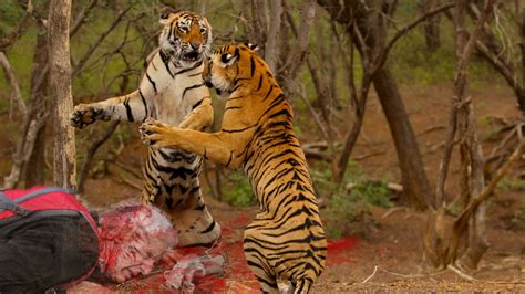 Most Shocking Animal Attacks On Human   Tiger Attack Human