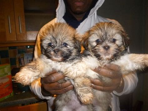 shih tzu mixed with lhasa apso shih tzu x lhasa apso mixed puppy castleford west