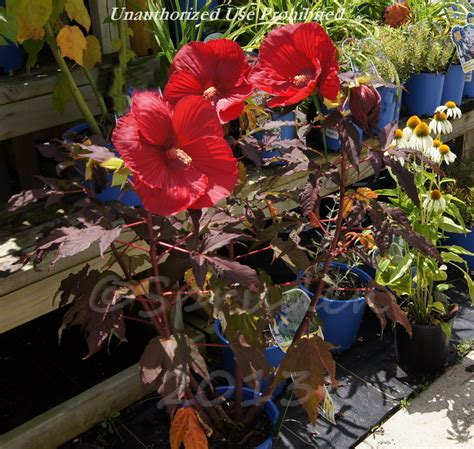 plantfiles pictures hardy hibiscus rose mallow swamp